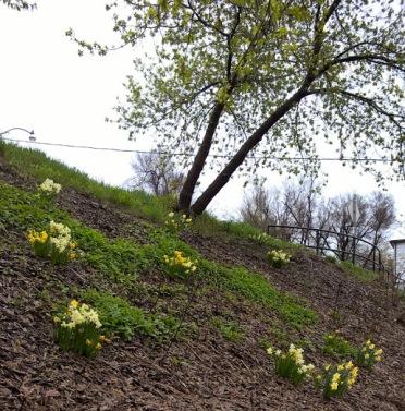 2017 Beach Hill Daffodils